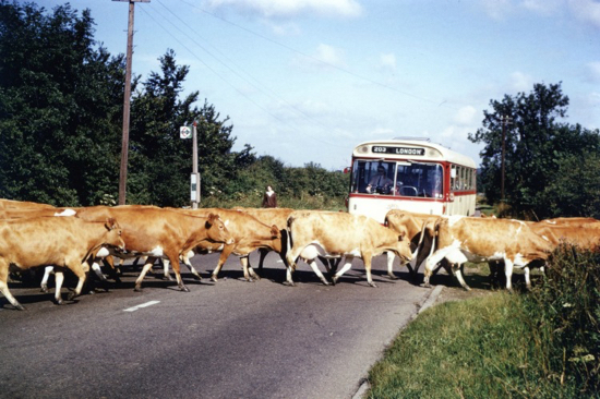 Photograph of a Birch Bros bus waiting for an A1 Dairies' herd to cross the Great North Road in July 1966 Image from Ron Kingdon