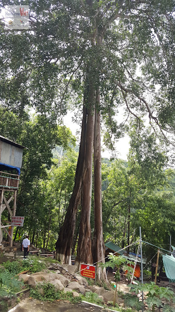 Cây Da Ba Gốc trên núi Chứa Chan