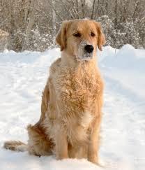 تفسيرحلم رؤية الكلب والكلاب في المنام لابن سيرين