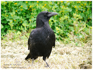 https://bioclicetphotos.blogspot.fr/search/label/Corneille%20noire%20-%20Corvus%20corone