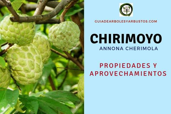 El chirimoyo, (Annona cherimola) tiene propiedades y aprovechamientos
