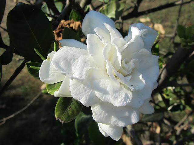 Fiore di Gardenia jasminoides