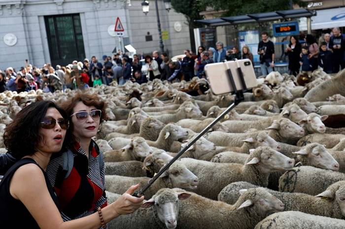 The annual sheep parade in Madrid. October 21. The author: Susana Vera
