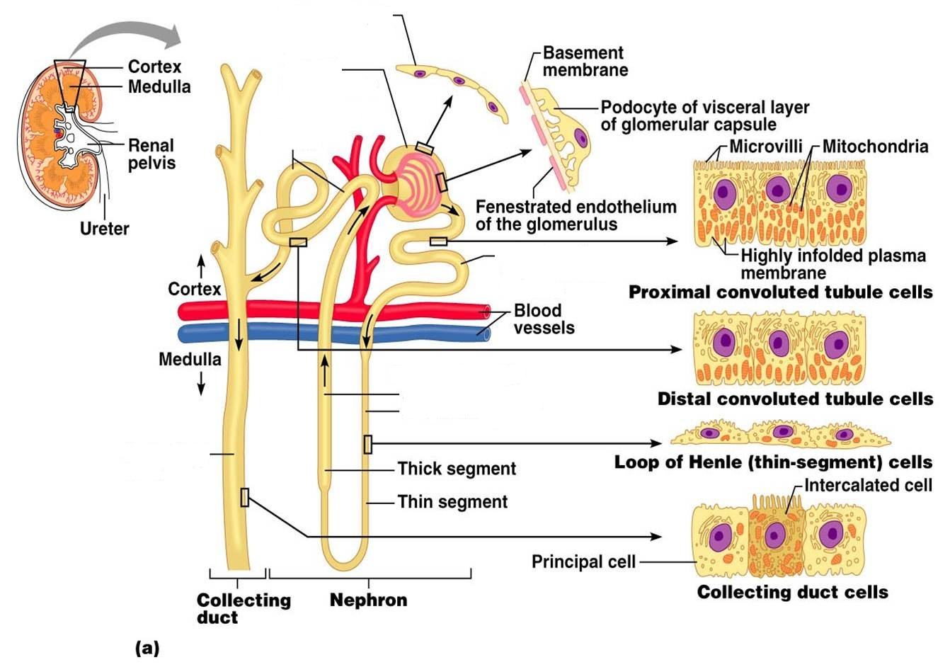Urinary System Diagram Unlabeled