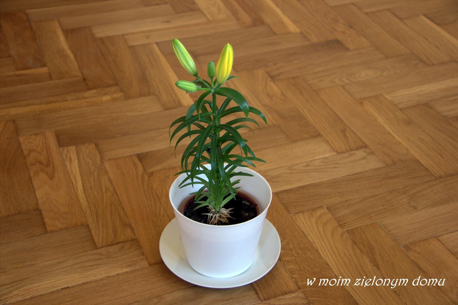W Moim Zielonym Domu Lilia Karłowata Cebulki Kwiatowe