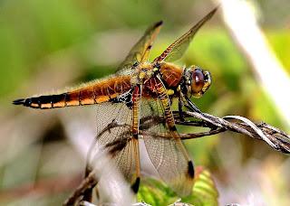 Close-up of a beautiful yellow-orange dragonfly. Photo by James Wainscott on Unsplash.