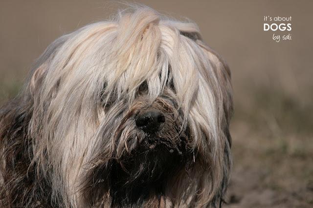 """Tibet Terrier mit """"pflegender Dreckschicht"""" im Gesicht"""