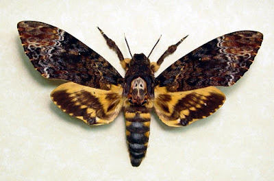 Death's Head Hawkk Moth