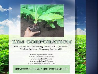 Budidaya kacang tanah sangat cocok diterapkan di tempat yang tempatnya di ketinggian seki Budidaya Kacang Tanah di Polybag
