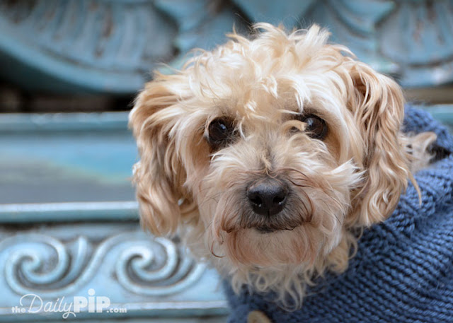 Ruby in her blue sweater out and out in Giddings Plaza in Lincoln Square Chicago