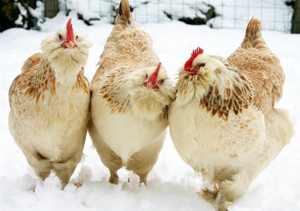 انخفاض الحرارة في الشتاء وتأثيرها علي دجاج اللحم وكيفية التعامل معها