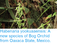 http://sciencythoughts.blogspot.co.uk/2017/01/habenaria-yookuaaensis-new-species-of.html