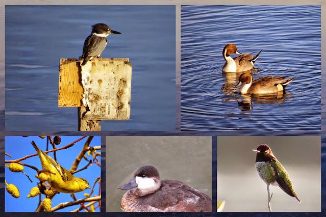 Bay Area Birds of Shoreline Park
