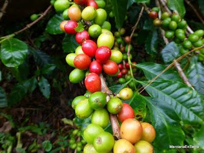 Planta del café, Panamá