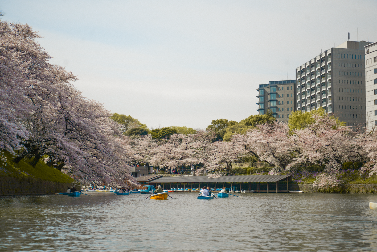 Cherry blossom basen in Tokyo, row boats cherry blossom viewing, cherry blossom lake Tokyo, Spring activities in Tokyo, FOREVERVANNY