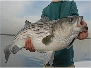 Nama Nama Ikan Laut Dangkal STRIPED BASS ( MORONE SAXATILIS)