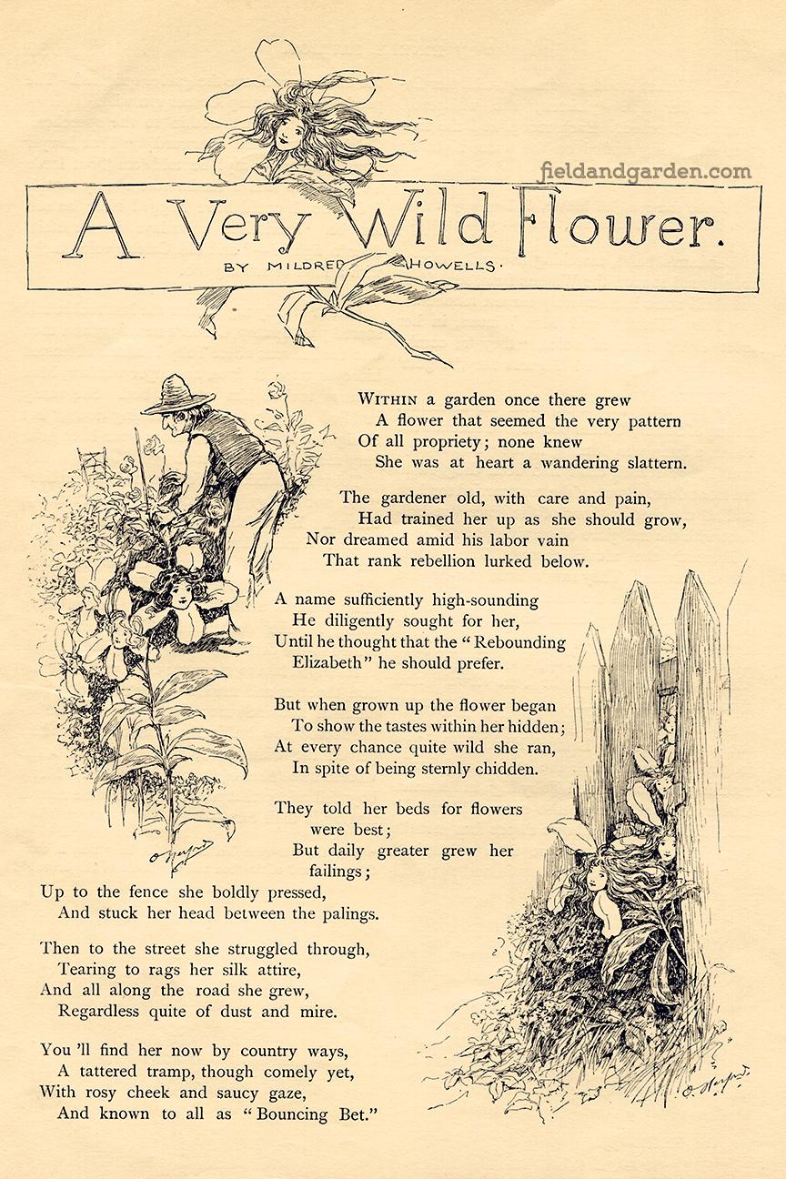 Field Garden Public Domain Poem For Gardeners A Very Wild Flower By Mildred Howells