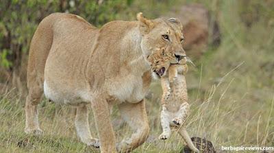 Singa hewan vivipar - berbagaireviews.com