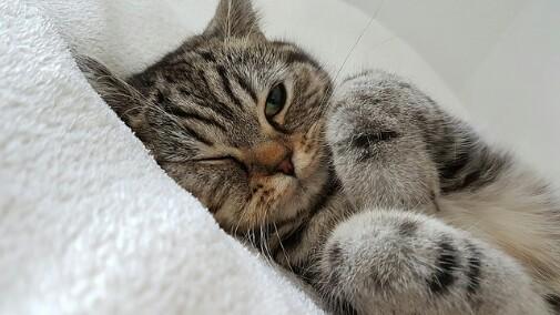 Tanda Tanda Kucing Hamil Yang Paling Menonjol Hobinatang