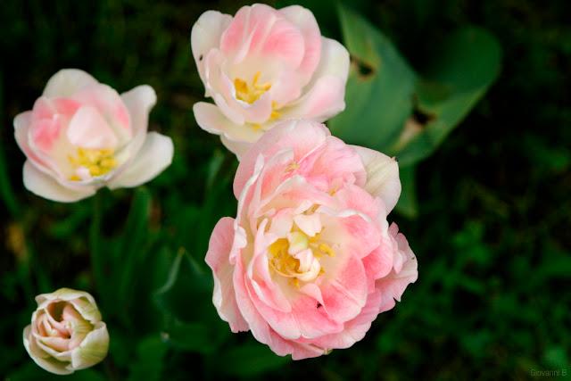 Un tulipano molto petaloso