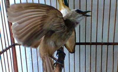 trucukan ropel menjadi keinginan setiap para pemeliharanya Top Koleksi Suara Ropel Burung Trucukan