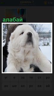 белый щенок собаки породы алабай на руках у женщины