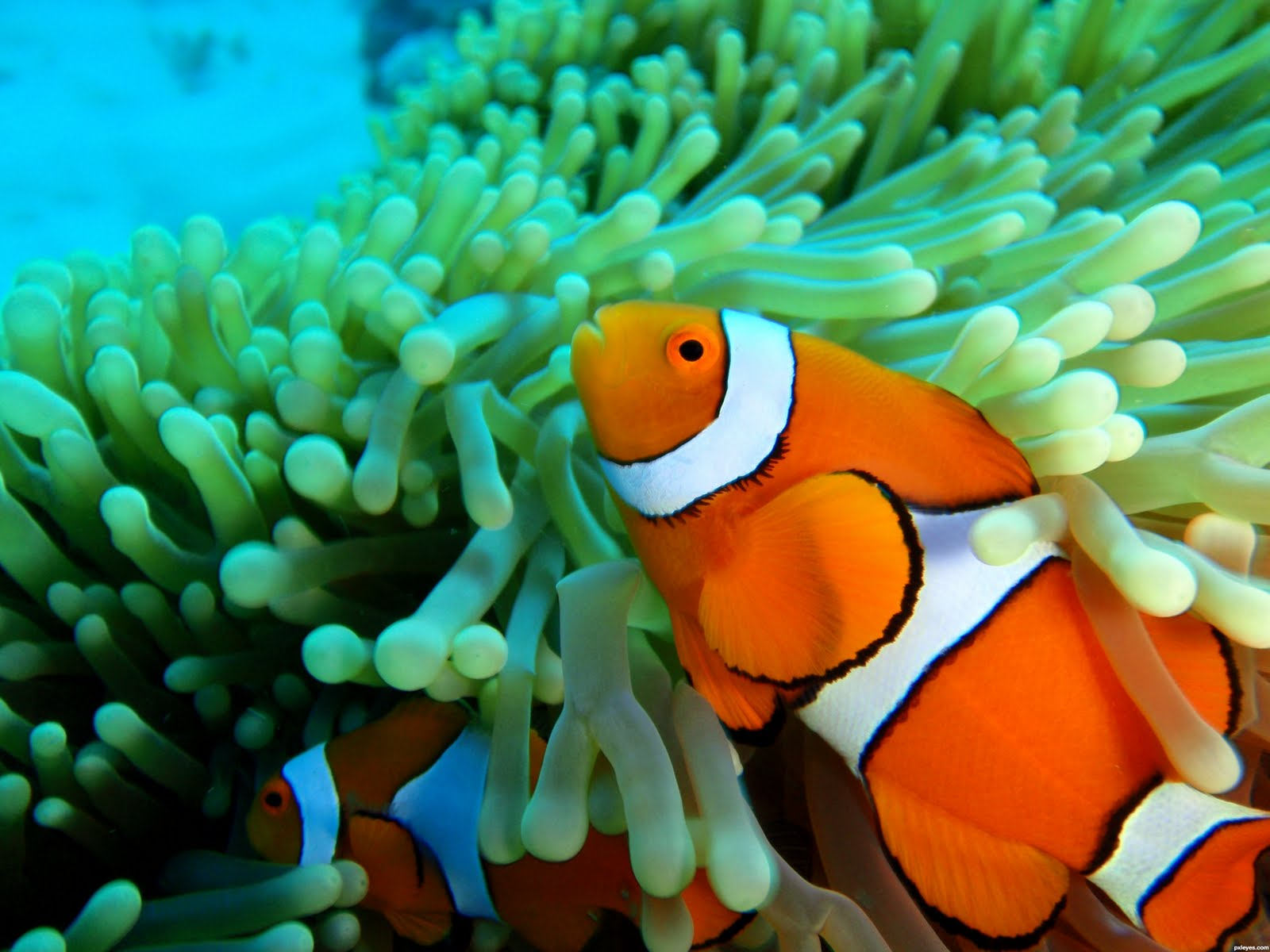 Finding Nemo D Animasi Hd Wallpaper: Clownfish / Ikan Badut / Ikan Nemo Wallpapers / Pictures