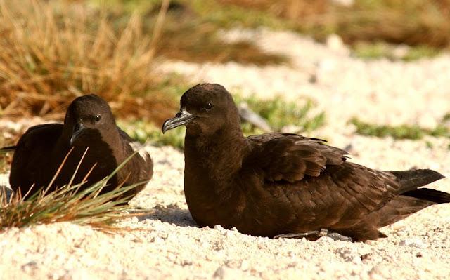 sooty shearwater birds