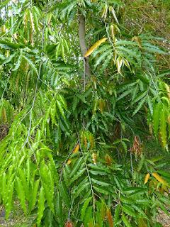Faux ashoka - Arbre à mâture - Polyalthia longifolia