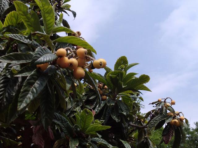 frutti maturi Eriobotrya japonica