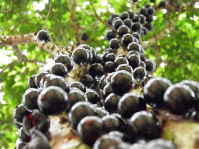 manfaat-buah-gowok-kesehatan-bagi-kesehatan,www.healthnote25.com