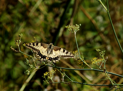 Mariposa Papilio machaon