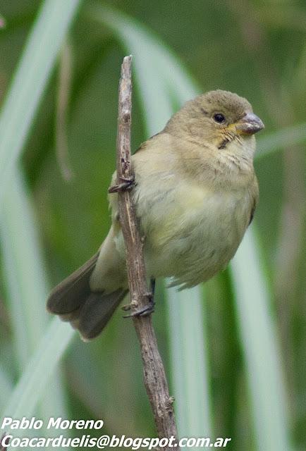 "alt=""corbatita hembra,aves de Mendoza,Sporophila caerulescens"""