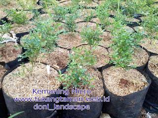 Jual Pohon Kemuning Micro | Murraya paniculata