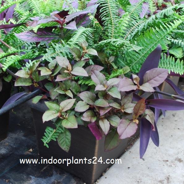 strobilanthes dyerianus australia flower information