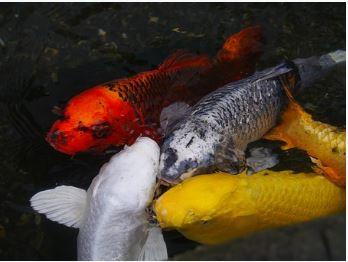 Umpan Pengumpul Ikan Mas Jitu Kailbayu