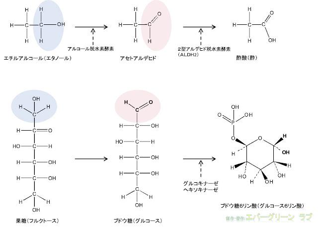 お酒に強い アルコールに弱い 遺伝 肝臓 ペルオキシソーム カタラーゼ、滑面小胞体 シトクロムP-450依存性モノオキシゲナーゼ MEOS シトクロムP-450 2E1 ブドウ糖、果糖、アルコール、アルデヒド、酢酸、ブドウ糖6リン酸 構造 二日酔いにならない 予防 飲みすぎ グルコキナーゼ ヘキソキナーゼ エチルアルコール アルコール脱水素酵素 アルコールデヒドロゲナーゼ ALDH2 アルデヒド脱水素酵素 酢酸 酢 グルコース6リン酸