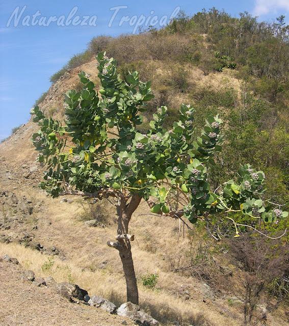 Planta Algodón de Seda en su hábitat, Calotropis procera