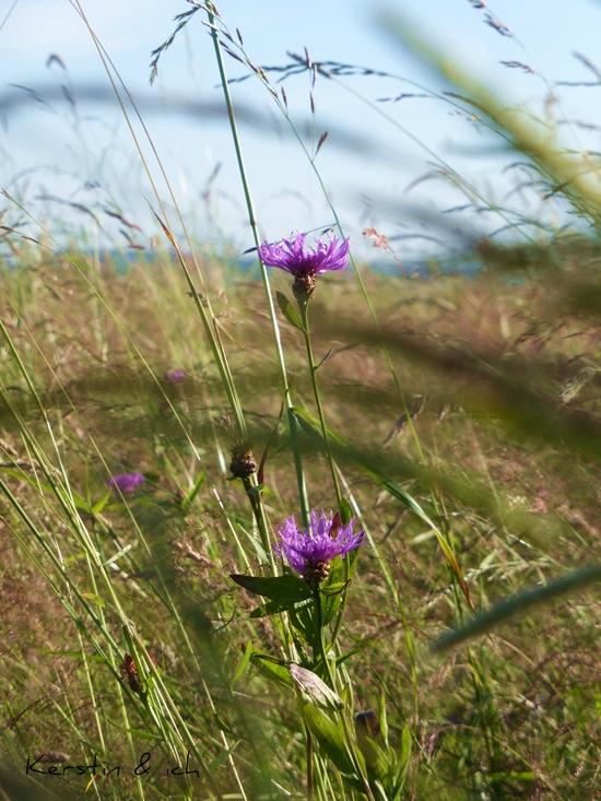 Nahaufnahme Kornblume auf dem Feld