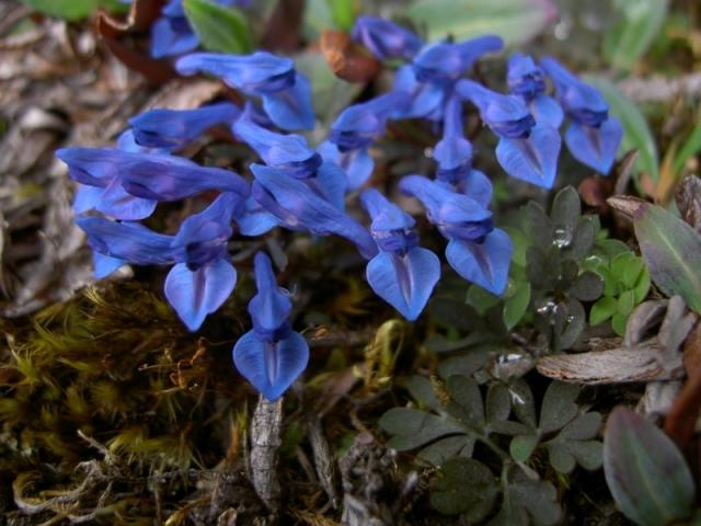 Corydalis cashmeriana flowers