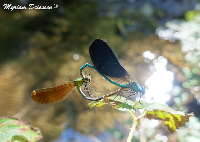 dameselflies Calopteryx virgo mating South of France