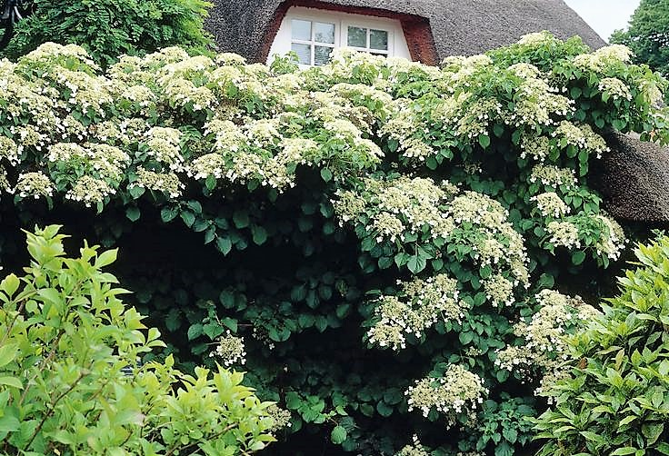 Climbing Plants For Shaded Walls And Fences