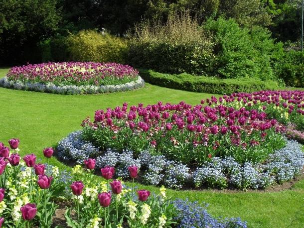 Тюльпаны в обрамлении бордюра из незабудок