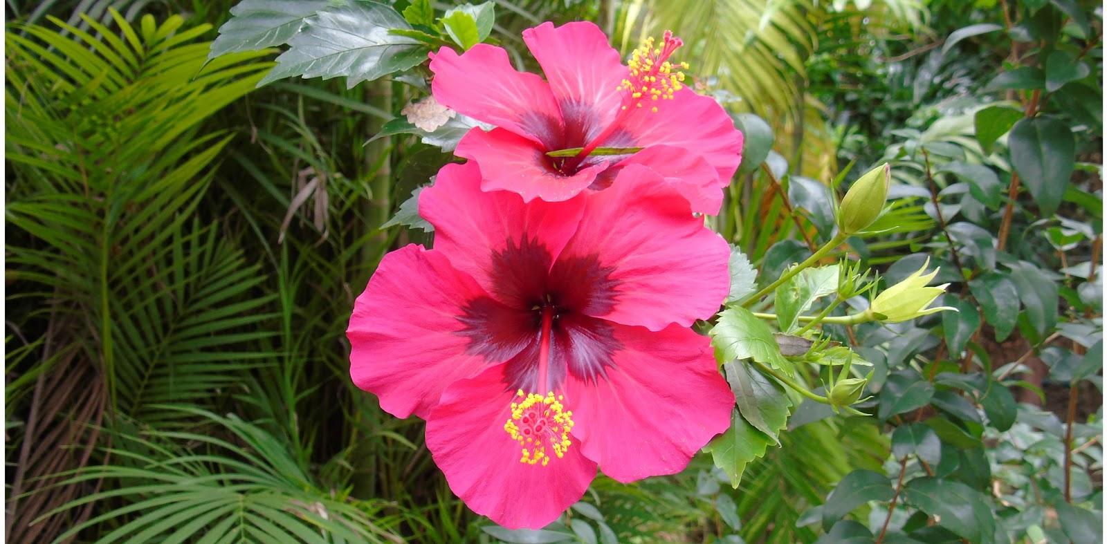 Hibisco hibiscus rosa sinensis l a planta da vez for Hibiscus arbol