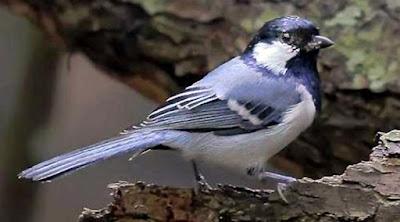 Burung Gelatik Batu
