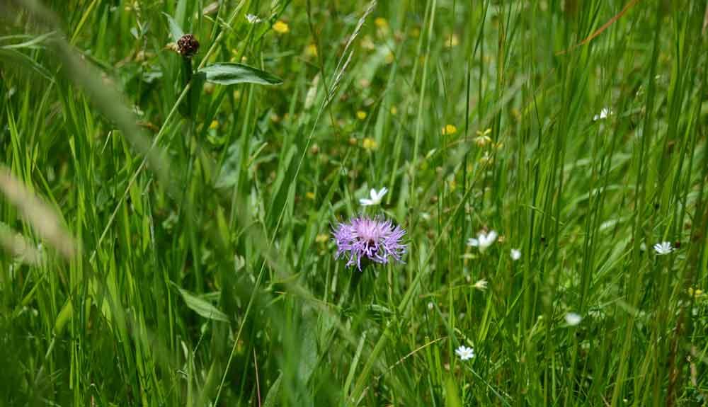 Weide mit Blume