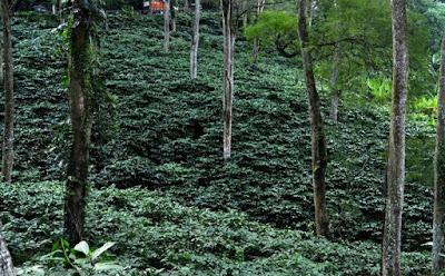 Pohon Pelindung Budidaya Kopi Robusta dan Arabika