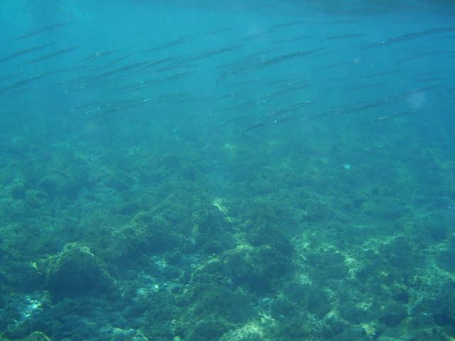 Hornhecht © Canarian Sea 02