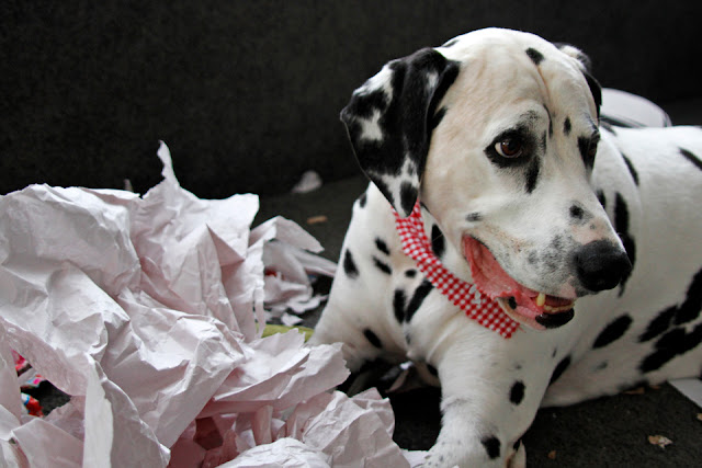 Smiling Dalmatian dog with a pile of ripped wrapping paper
