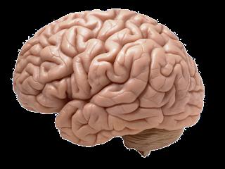 Zusammenhang zwischen Immunsystem, Hirnstruktur und Gedächtnis entdeckt
